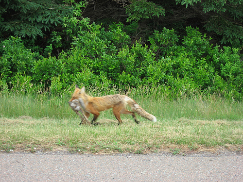 Fox by the roadside in Prince Edward Island National Park
